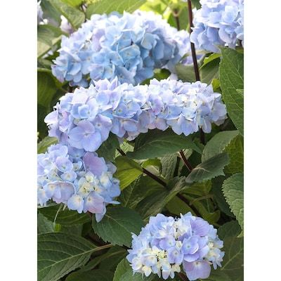 Hydrangeas In A Pot At Lowes Com Search Results In 2020 Blue Hydrangea Dried Flower Arrangements Flowering Shrubs
