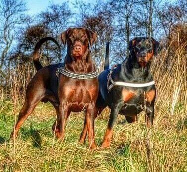 Doberman Duo With Natural Ears Tails Doberman Doberman Pinscher
