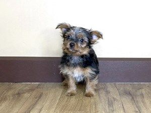 Yorkshire Terrier Dog Male Blk Tan 2439237 Petland Grove City Oh