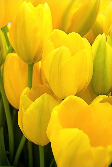 .tulipanes amarillos.