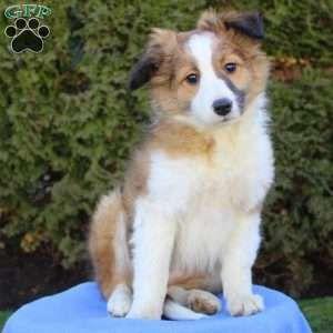 Puppies For Sale Under 500 Price Under 500 Greenfield Puppies In 2020 Golden Retriever Mix Puppies Sheltie Puppy Shepherd Mix Puppies