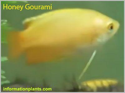هاني جرامي Trichogaster Chuna سمك زينة انواع الاسماك انواع الاسماك مع الصور معلوماتية نبات حيوان اسماك فوائد Fish Pet Fish Pets
