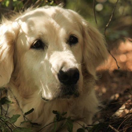 Remove All The Stress Of Owning A Golden Retriever Dog Behaviour