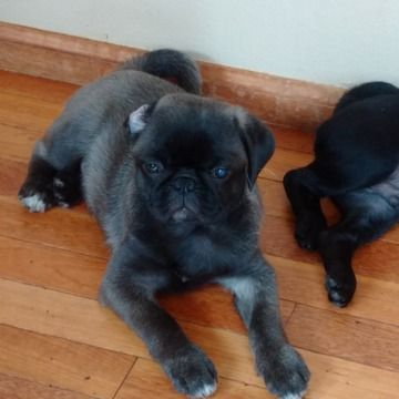 Litter Of 3 Pug Puppies For Sale In Golden Co Adn 71711 On