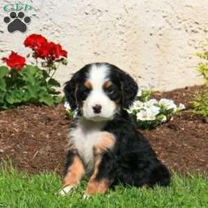 Mini Bernedoodle Puppies For Sale Bernedoodle Puppy Greenfield Puppies Puppies For Sale