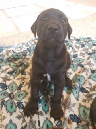 Doberman Pinscher Labrador Retriever Mix Puppy For Sale In