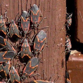 Box Elder Bug Party Buffalony Eastaurorany Williamsvilleny Lancasterny Buffalove Pestcontrol Insectcontro Box Elder Bugs Insect Control Bugs And Insects