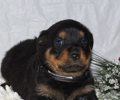 Casey Vip Puppies Rottweiler Puppies Puppies Puppies For Sale