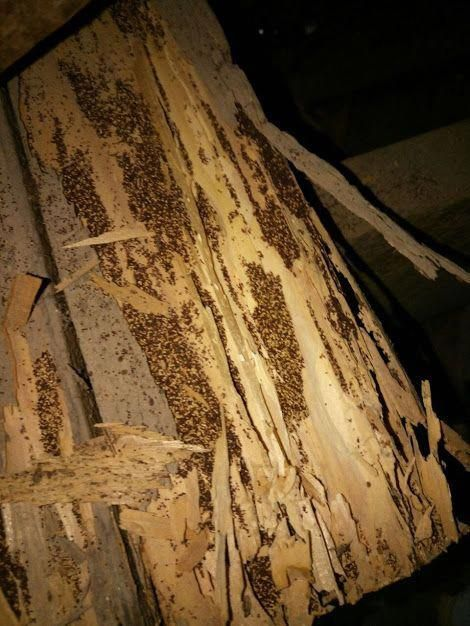 Here You Can See A Location Infested By Drywood Termites Aka Woodborer We Were Able To Enter The Location And Qui Drywood Termites Termite Treatment Termites