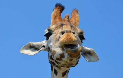 Giraffe Pictures Galore -   http://animalsearth.org/giraffe-pictures-galore/