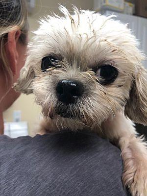 Long Beach Ny Shih Tzu Meet Sparkles A Dog For Adoption
