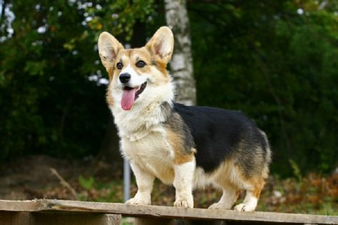 Corgi Puppies For Sale In Oklahoma Zoe Fans Blog Welsh Corgi