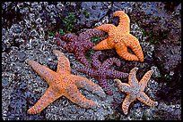 Sea stars on rocks at low tide. Olympic National Park, Washington, USA.