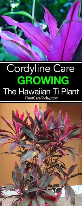Cordyline Plant Care Learn To Grow The Hawaiian Ti Plant Ti Plant Plants Hawaiian Plants