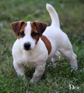 Short Leg Jack Russell Terrier Puppies For Sale Shortiejacks