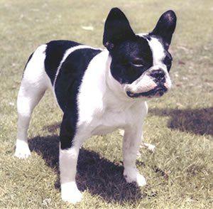 American French Bulldog: American Bulldog and French Bulldog Mix