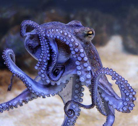 Photograph - The Octopus 2 by Joachim G Pinkawa , Octopus Tattoo Design, Octopus Tattoos, Octopus Art, Cute Octopus, Octopus Tentacles, Beautiful Sea Creatures, Animals Beautiful, Cute Animals, Octopus Photography