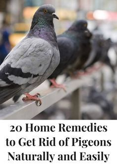 How To Get Rid Of Pigeons Keep Them Away Get Rid Of Pigeons Pigeon Pigeon Repellent