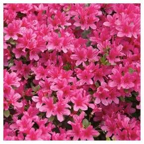 Floramore Azalea Hot Pink 1pc National Plant Network U S D A Hardiness Zones 7 9 Flowering Bushes Blooming Plants Plants