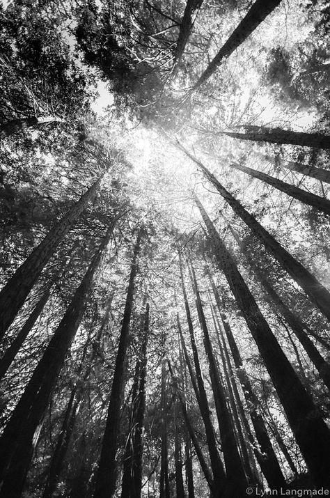 "Black and White Photography - california redwood trees, tree photography, tree art, wall decor 8x10 8x12 11x14 16x24 print - ""Black Rain"""
