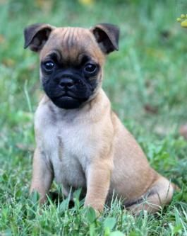Puppies For Sale All Breeds Lancaster Puppies Puppies For