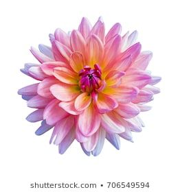 Beautiful Pink Dahlia Flower Isolated On White Background Dahlia Flower Flower Drawing Dahlia
