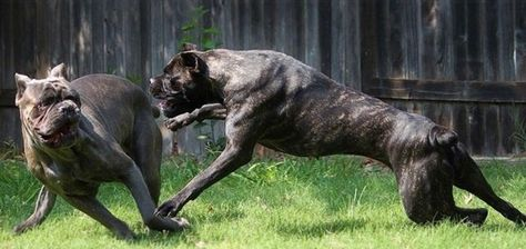 Pin By Hollie Robertson On Staff Terrier Cane Corso Dog Cane Corso Corso Dog