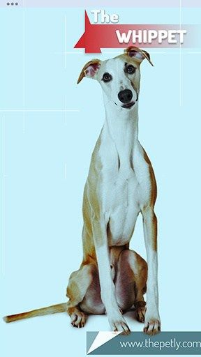 17 Dogs That Don T Shed Much Ultimate Guide For Dog Owners Whippet Hypoallergenic Dog Breed Whippet Rescue