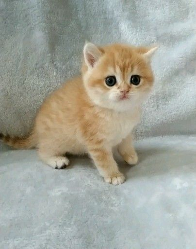List of british shorthair kitten golden cats images and