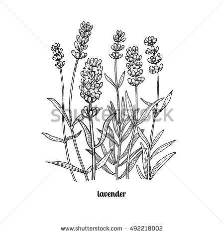 Flower Lavender Vector Illustration Isolated On White Background