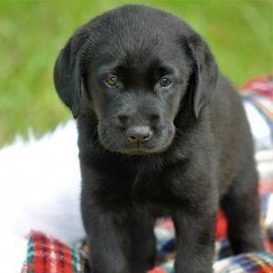 Silver Labrador Retrievers Labrador Retriever Labrador Golden Labrador Puppies