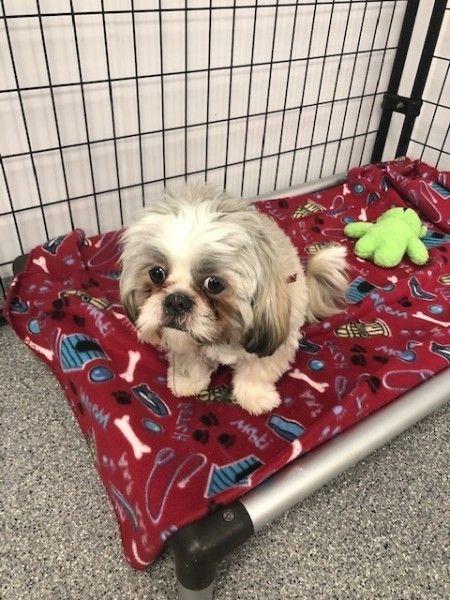 Shih Tzu Rescue Nc : rescue, Adoption, Mooresville,, North, Carolina, Barkley, Rescue, Adoption,