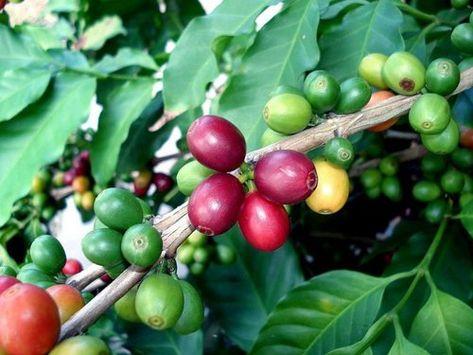 Arabica Coffee Bean Plant 4 Pot Grow Brew Your Own Coffee