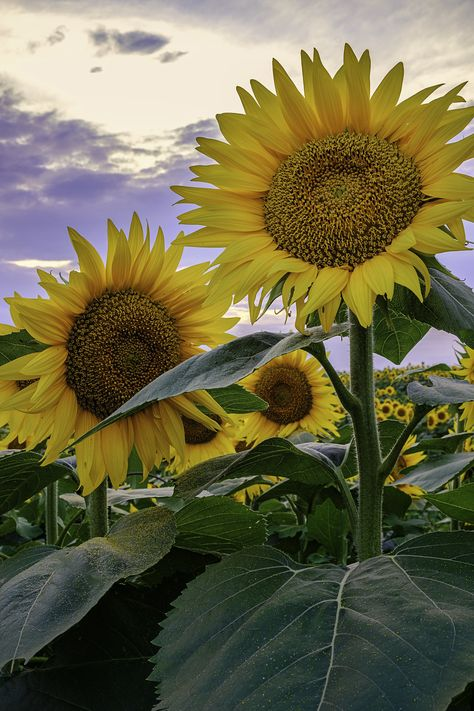 _LCH6814 kansas sunflowers | Flickr - Photo Sharing!