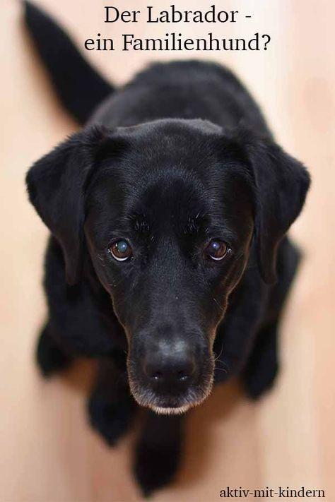 Eignet Sich Ein Labrador Retriever Als Familienhund Oder Doch Eher Nicht Familie Familienleben Labrador Retriever Familienhund Golden Retriever Labrador Labrador Retriever Dog Labrador Retriever