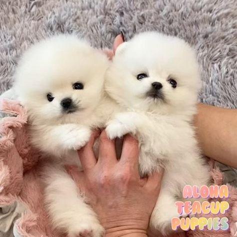 Aloha Teacup Puppies inc
