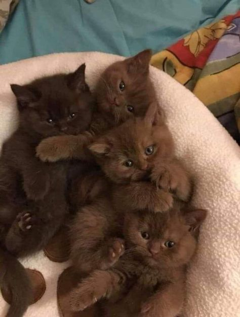Chocolate kittens - your daily dose of funny cats - cute kittens - pet memes - pets in clothes - kitty breeds - sweet animal pictures - perfect photos for cat moms Cute Baby Cats, Cute Little Animals, Cute Cats And Kittens, Cute Funny Animals, Kittens Cutest, Funny Cats, Cutest Cats Ever, Fluffy Kittens, Little Kittens