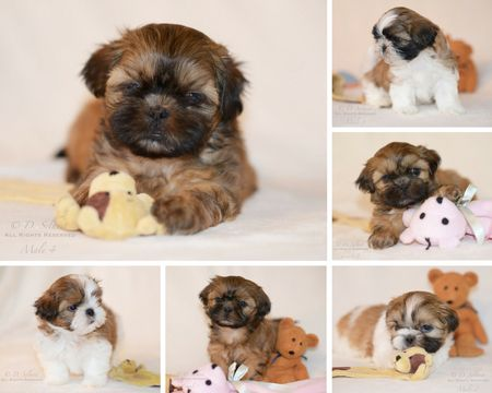 Litter Of 3 Shih Tzu Puppies For Sale In Condon Mt Adn 53154 On
