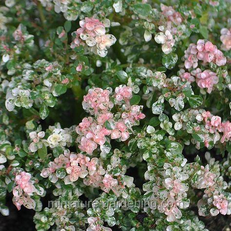 Miniature Gardening - Pilea microphylla variegata, Tricolor