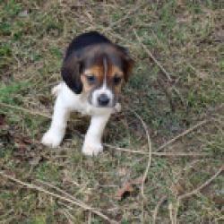 Amelia Is An Adoptable Beagle Dog In Dumfries Va Here S Amelia