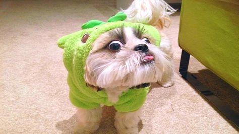10 Funniest Shih Tzu Videos 2 Yorkshire Terrier Yorkshire