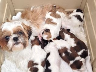 Get Healthy And Ethically Bred Shih Tzu Puppies For Sale Shih Tzu