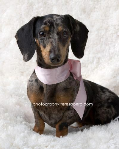 Reesie Is An Adoptable Dog Dachshund Mix Searching For A Forever