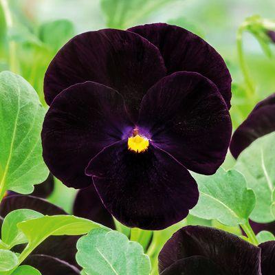 Buy Pansy F1 Black Blotch Flower Seeds Online At Nurserylive Best Flower Seeds At Lowest Price Flower Seeds Online Container Gardening Flowers Fall Container Gardens
