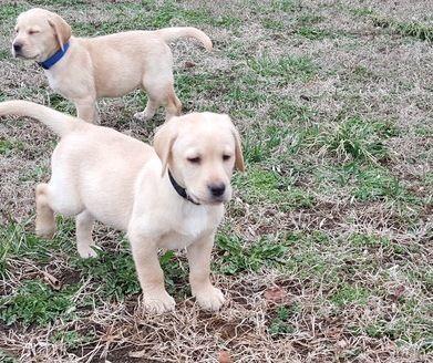 Labrador Retriever Puppies For Sale Fairfax Va