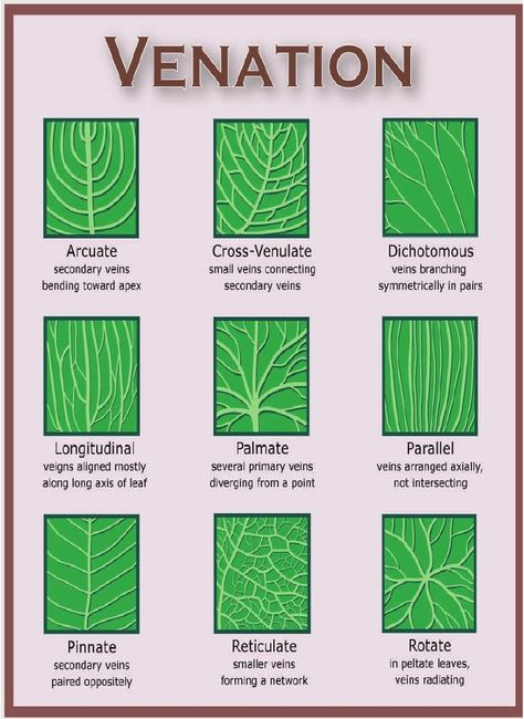 Leaf structure and arrangement is unique to every tree species. A tree leaf shape, arrangement, margin and venation is important to tree ID. Botanical Art, Botanical Illustration, Botanical Drawings, Garden Plants, House Plants, Forest Plants, Leaf Structure, Flower Structure, Illustration Inspiration