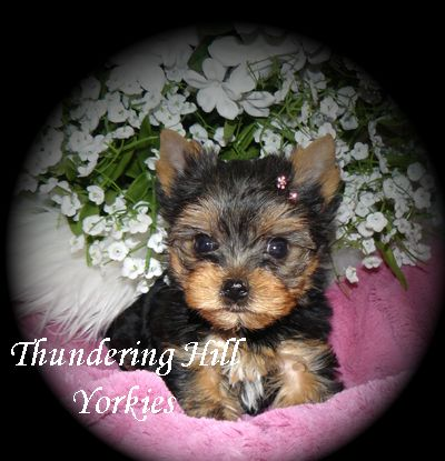 Yorkie Puppies For Sale B C Canada Teacup Yorkies For Sale In 2020 Yorkie Puppy Yorkie Puppy For Sale Yorkie
