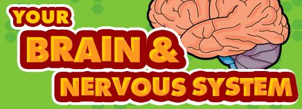 Your Brain & Nervous System  (for Kids)