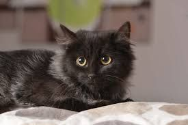 Un exemple dun tel vieillissement sur la photo ci-contre, avec Canelle, qui porte Le propriétaire voit donc son chat maigrir, moins manger, boire et uriner.
