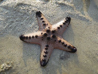 Image Result For Chocolate Chip Starfish Chocolate Chip Starfish Chocolate Chip Starfish
